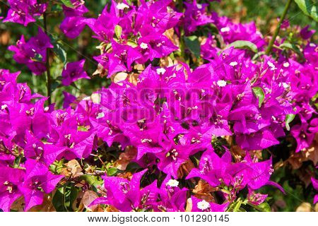 Close Up Pink Bougainvillea On Tree