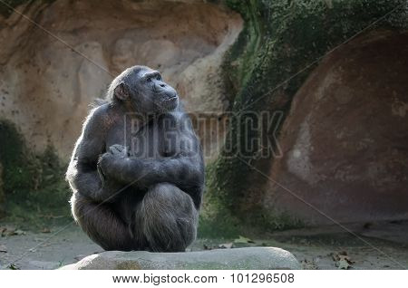 Chimpanzee With Proud And Important Look