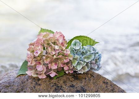 Hydrangea Blossoms On A Stone At The Beach