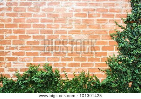 The Red Brick Wall With The Bush Of Ivy Which Climbing Around