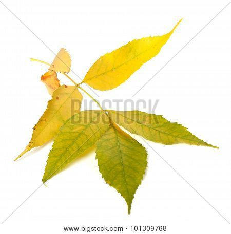 Yellowed Autumn Ash-tree Leaves