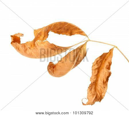 Dried Ash-tree Leaf