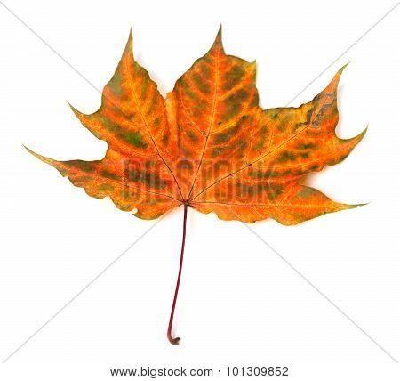 Autumnal Multicolor Maple-leaf
