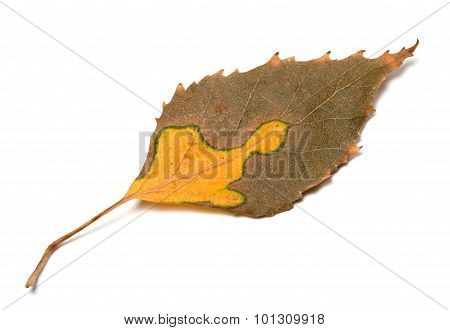 Multicolor Autumn Leaf Of Birch