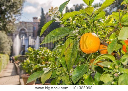 An Orange On A Tree In A Garden, With Fountains In The Background