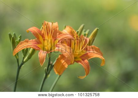 Lily bloom