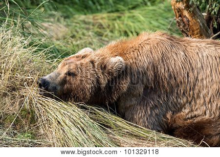 Momma bear napping