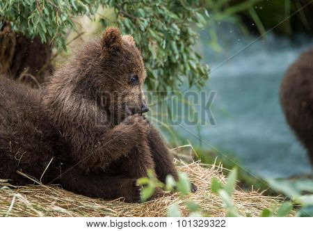 Cute baby bear keeping an eye on mom