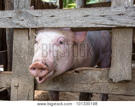 Young Pig Show His Face Out Of The Wood Cage For Food