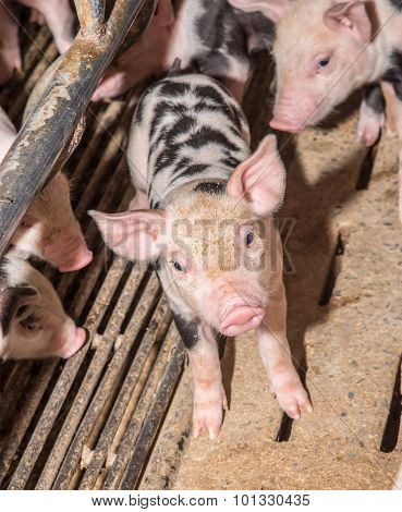 Adorable Baby Pig In Iron Cage , Cute New Born Pig