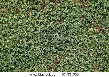 Lilliput white spruce (Picea glauca) texture.