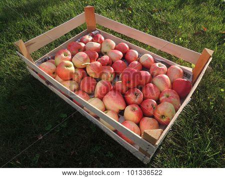 Box Of Freshly Harvested Apples From Denmark