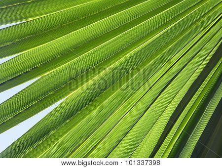 Palm Leaf In Back Light