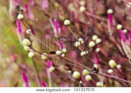 Beautiful Wild Globe Everlasting Flower