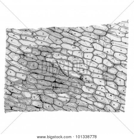 Black And White Onion Epidermus Micrograph