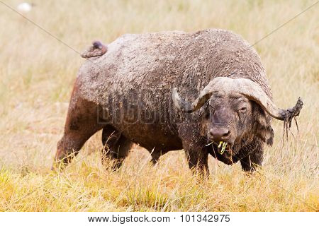 Buffalo In Nakuru Park
