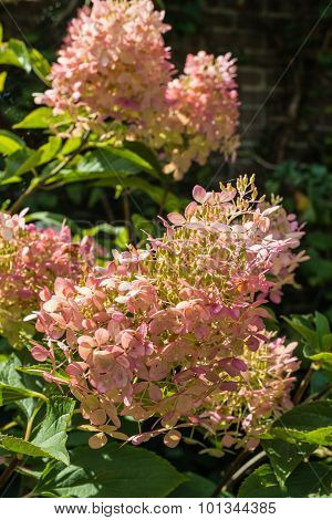 Soft Pink Flowers Of A Panicled Hydrangea Shrub