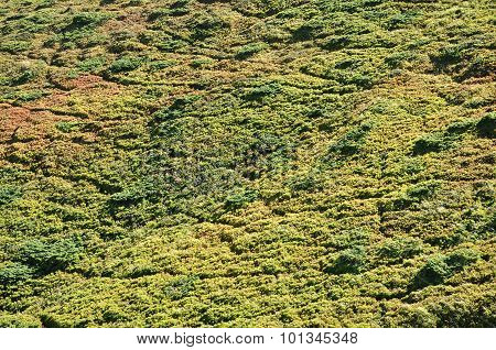 Evergreen Junipers In The Mountains
