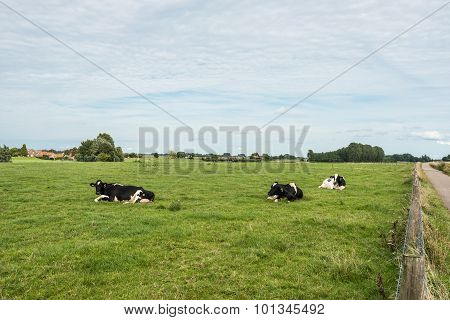 Ruminating Cows Lying In The Meadow
