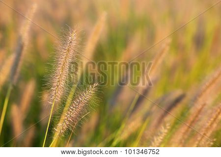 Wild meadow wheat grass close-up