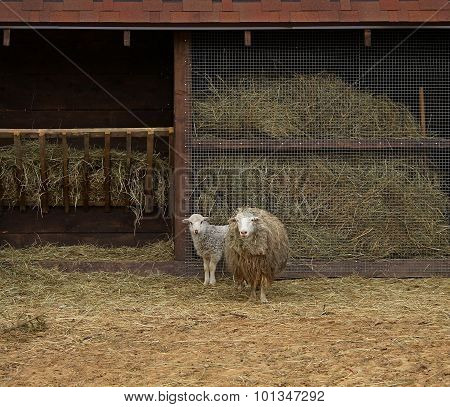 Sheep and lamb near manger at the cattle farm