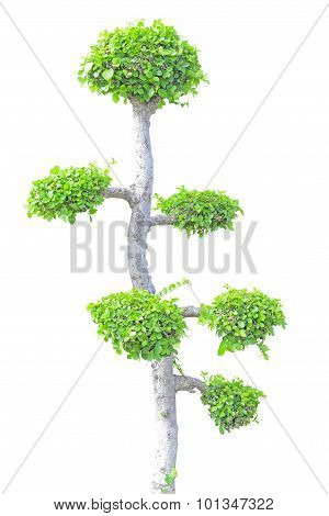 Streblus Asper Tree