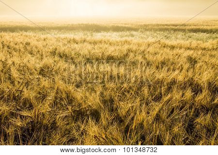 Golden Wheatfield In The Misty Morning Sun