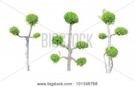 Streblus asper tree collection