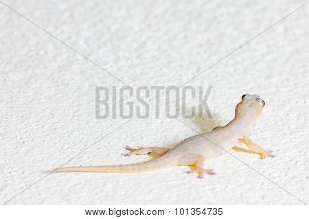 Close Up wall-lizard on yellow concrete background