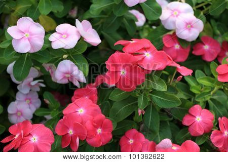 Pink Periwinkle