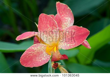 Orange Canna flower plants