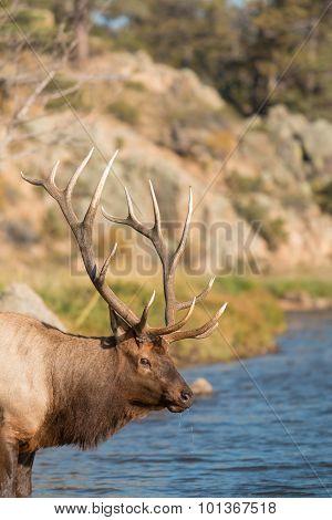 Bull Elk Drinking