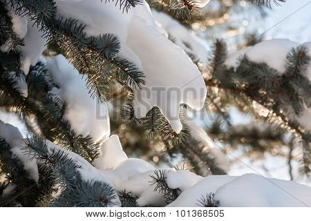 Snow-laden Pine Bough in Soft Afternoon Backlight