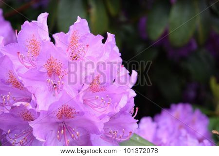 Purple Rhododendron Flower With Room For Writing