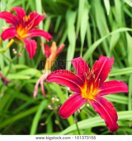 Bright Magenta Lilies