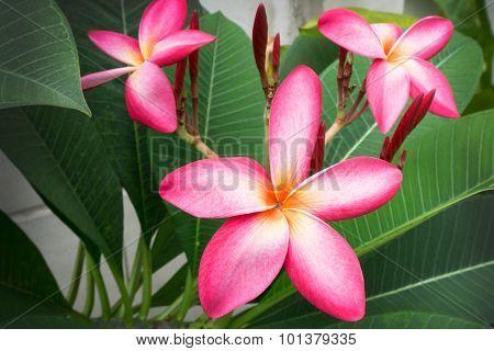 Plumeria Spp. (frangipani Flowers, Frangipani, Pagoda Tree)