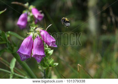 Bumblebee Approaching Wild Purple Flower In Scandinavian Forest