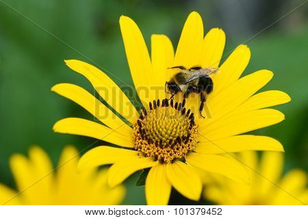 bee on yellow daisy shallow DOF