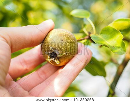 Hand Of A Caucasian Person Harvesting Pear