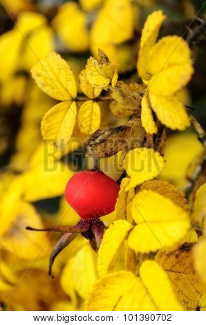 Autumn Landscape With Rosehip Berry