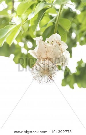 White Baobab flower (Adansonia digitata), isolated