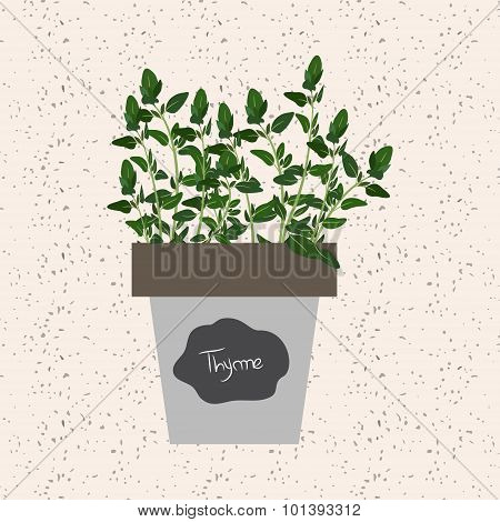 Vector - Fresh Thyme Herb In A Flowerpot. Aromatic Leaves Used To Season Meats, Poultry, Stews, Soup