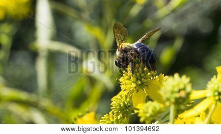 Giant Bumblebee on Yellow Common Wingstem