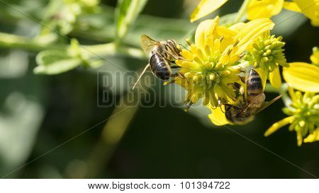 Two Honeybees on Yellow Common Wingstem. Helping.