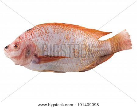 Red Tilapia Fish  On White Background