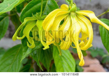 Ylang Ylang Flower