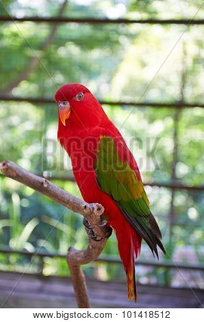 Chattering Lory - A Red Parrot With Green Wings