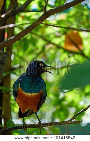 Superb Starling Is  Singing On The Tree