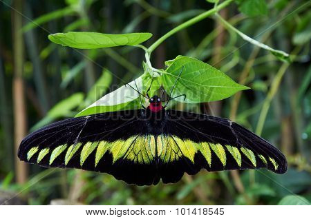 Rajah Brooke's Birdwing  Sitting On A Plant