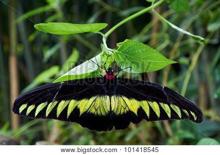 Rajah Brooke's Birdwing  Sitting On A Plant